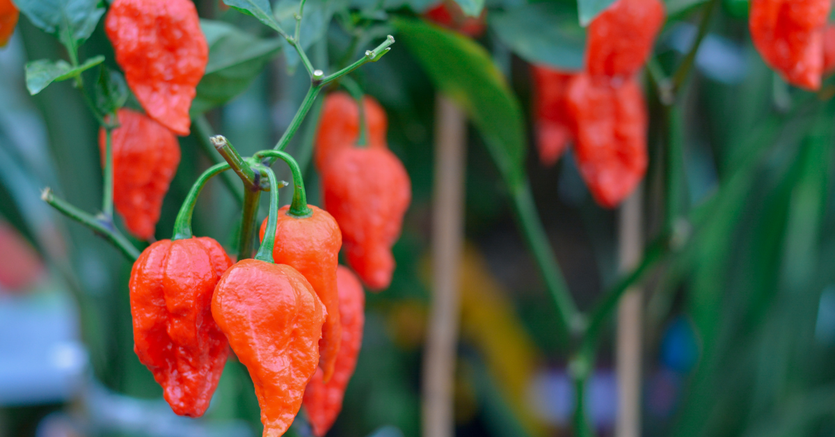 ghost pepper wholesale online