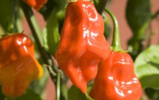habanero peppers online