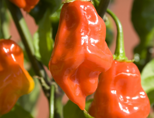 How to Find The Best Prices on Habanero Peppers Online