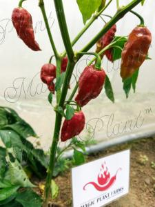 Chocolate-Ghost-Pepper-Plant