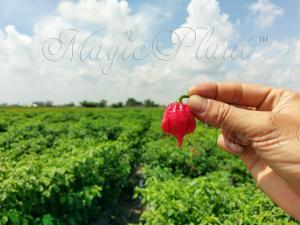 Scorpion-Pepper-Magic-Plant