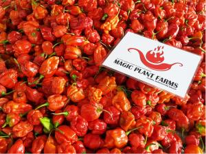 Trinidad-Scorpion-Chili-Pepper-Magic-Plant